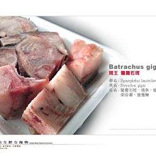 【水汕海物】寶島斑中之王 龍膽石斑 25kg級頭塊切丁。95折優惠中 !『門市熱銷、品質保證』