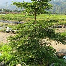 二棵種植多年的小葉欖仁樹和黃金風鈴木(自掘自運送),一棵6000元(可議價),地點南投水里頂崁村,圖片僅供參考