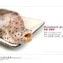 【水汕海物】老鼠斑 斑皇 。『海船釣商品,不定重,下標前請先詢問』!『門市熱銷、品質保證』