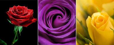 El significado del color de las rosas taringa - Significado de los colores de las rosas ...