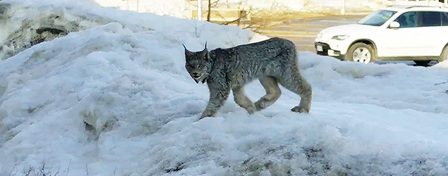 Beth-Ann Colebourne shot a video of a lynx Tuesday evening, March 24, 2015 at about 6 P.M. outside her nail salon in Terrace Bay, Ont., about 225 km east of Thunder Bay in northern Ontario. THE CANADIAN PRESS/ho-YouTube-Beth-Ann Colebourne