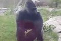 VIDEO: This is why you shouldn't mess with a gorilla