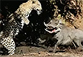 VIDEO: Warthog surprises leopard and thwarts attack