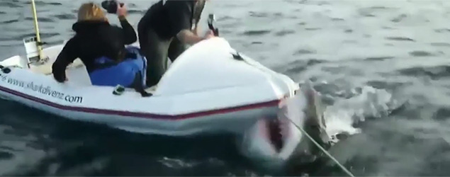Great white shark attacks small boat