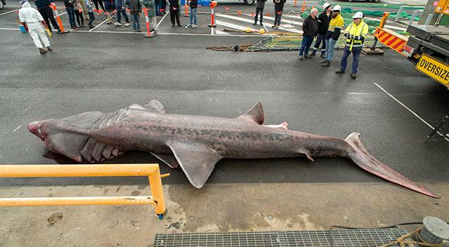 Редчайшая гигантская акула была поймана в водах Австралии (фото)