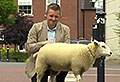 WATCH: Button the lamb pees on reporter