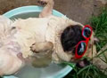 WATCH: Lazy pug snores as he naps in a basin of water