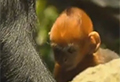 VIDEO: Rare baby monkey offers hope for species