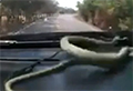 WATCH: Snake slithers across dashboard