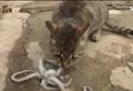 WATCH: Cat vs octopus