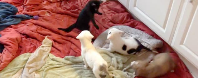 Disabled kitten has second life with puppies (Storyful)