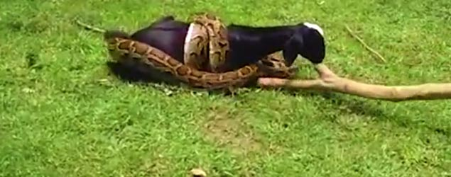 Villagers help as python attacks goat (Barcroft)