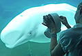 VIDEO: Vancouver beluga is captivated by music box