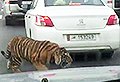 VIDEO: Escaped tiger roams loose on highway