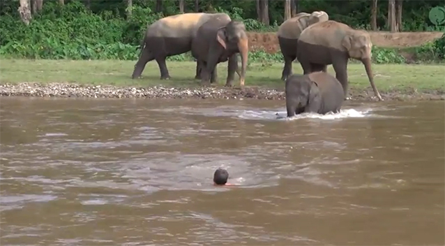 Baby elephant rushes into choppy water to save a man