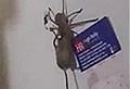 WATCH: Huntsman crawls across fridge with mouse