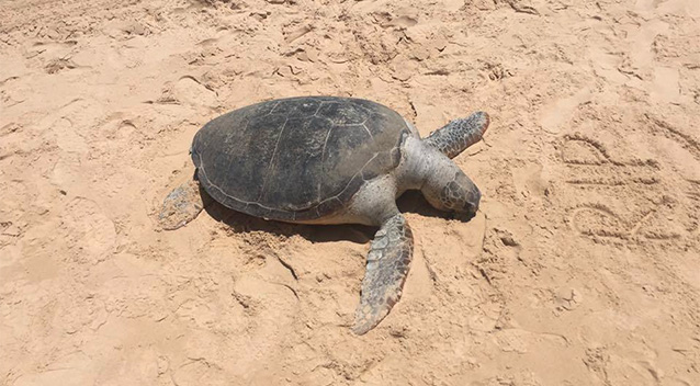 Gold Coast men could face $20k fine for 'surfing' a turtle