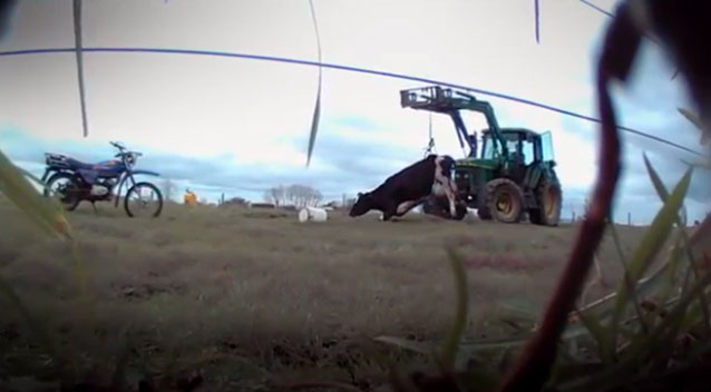 Footage shows cruel use of cow 'hip clamps'