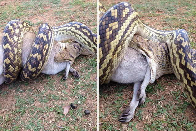 Snake eats another snake because it s summer in Australia ...