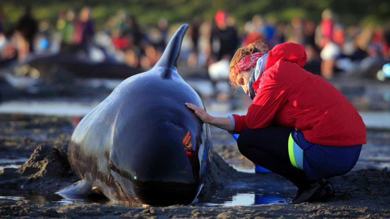 Pilot whales refloat themselves after beaching in NZ