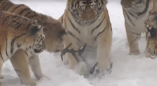 Tiger Knocks Drone out of the Sky