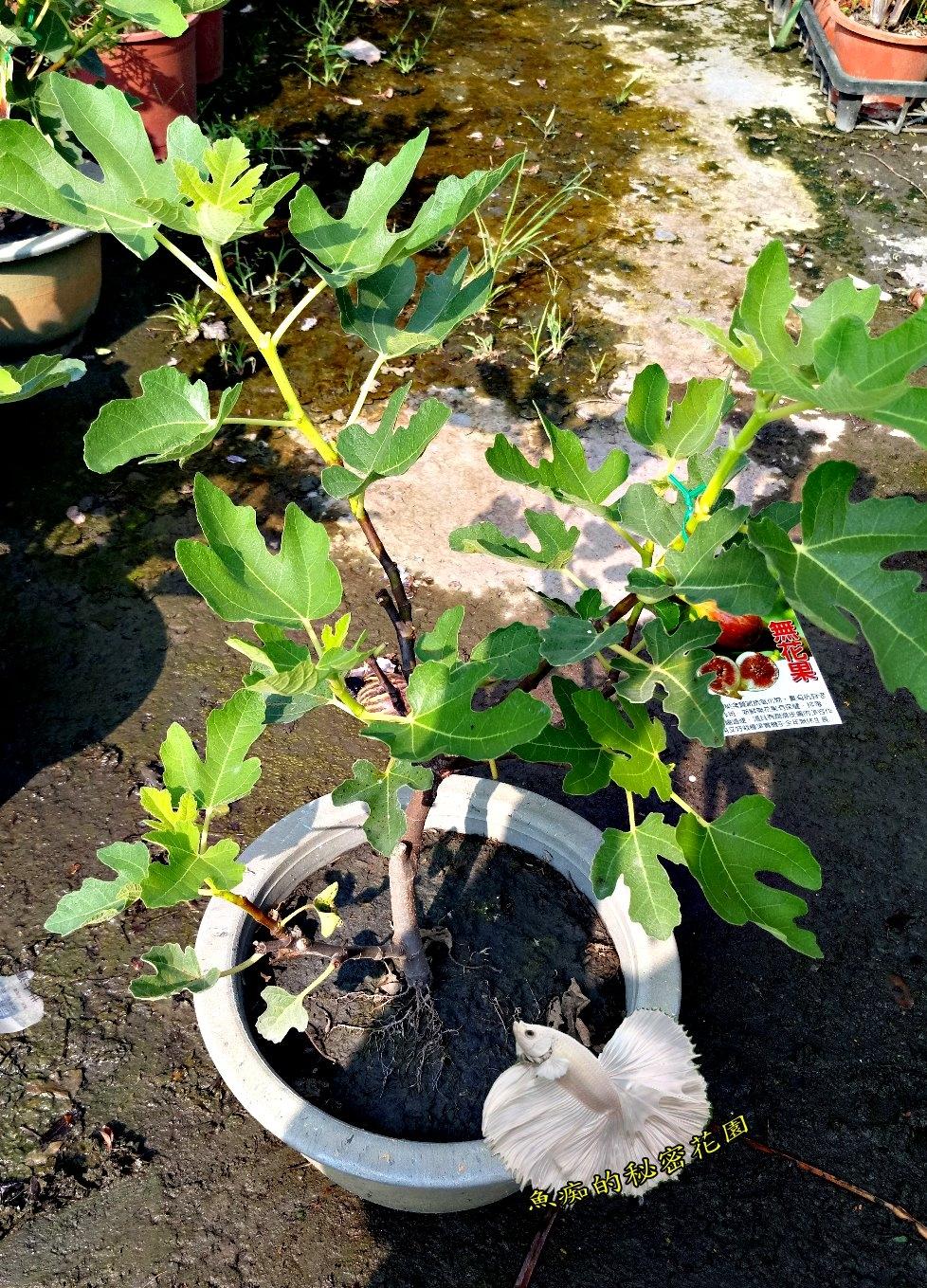 活體無花果室外植物食用果樹8吋盆栽送禮盆栽