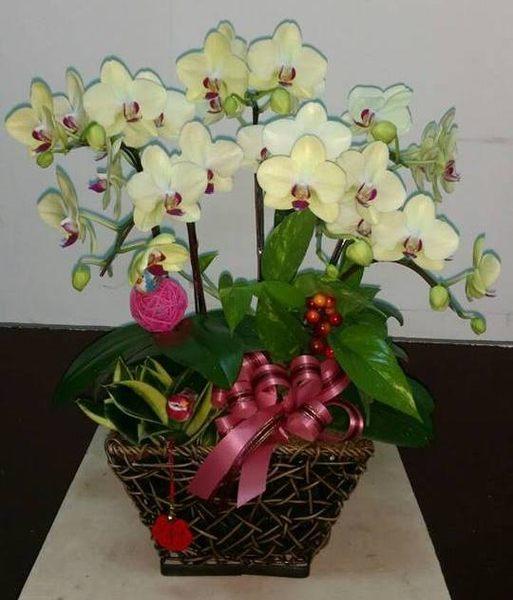 蘭花盆栽蘭花店精緻蘭花造景組合盆景花麗雅