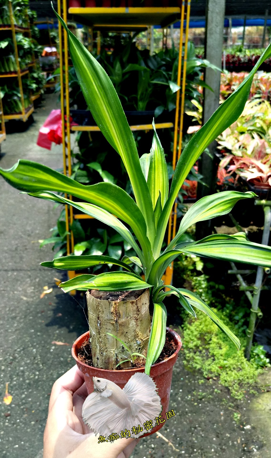 活體巴西鐵樹室內植物3吋盆栽送禮小品盆栽