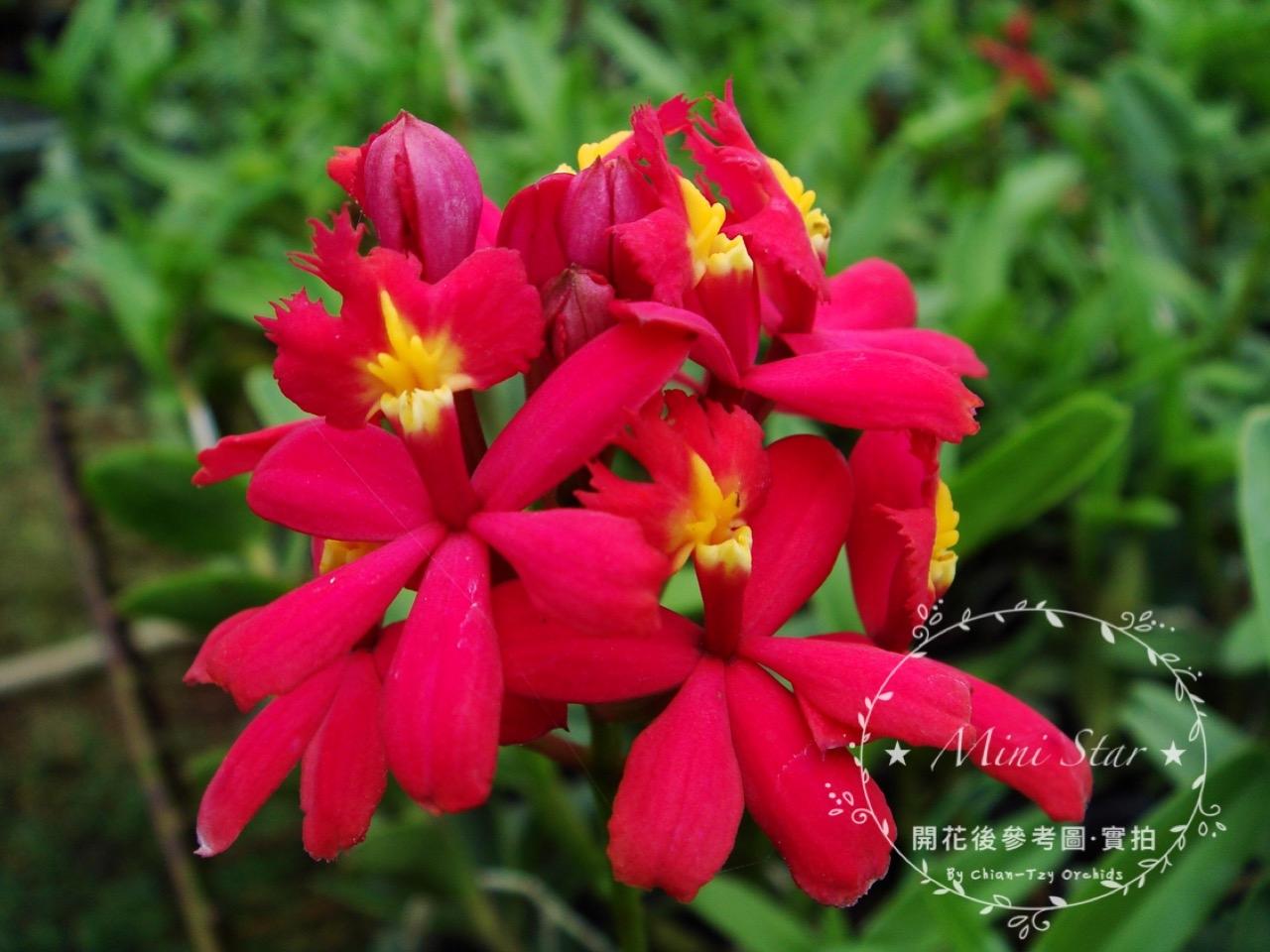 ★Mini Star★ 千姿蘭園Chian-Tzy Orchids  樹蘭 Epi.-千姿紅星