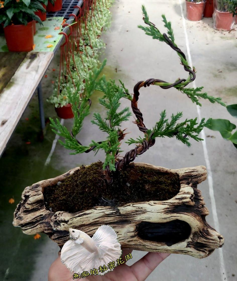 枯木花器S型雕塑小真柏樹盆栽室外植物活體盆栽送禮盆栽