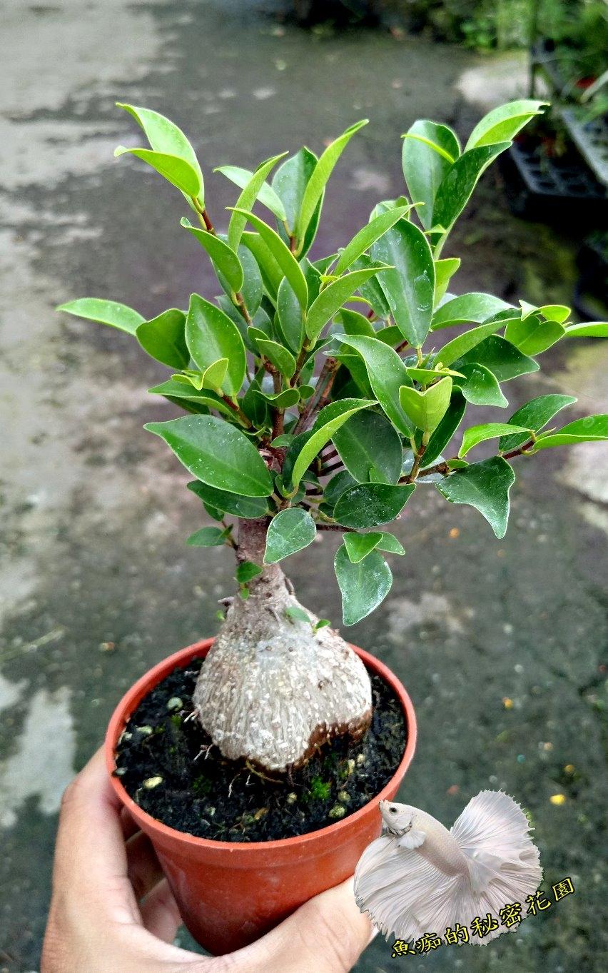 粗根榕樹小盆栽室內植物3吋活體盆栽送禮小品盆栽