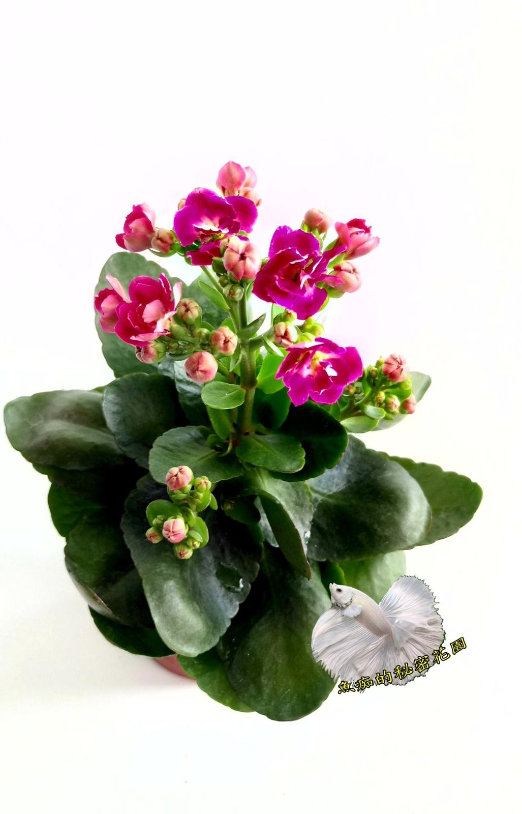 [桃色] 重瓣複辦多辦長壽花盆栽  3吋盆活體盆栽