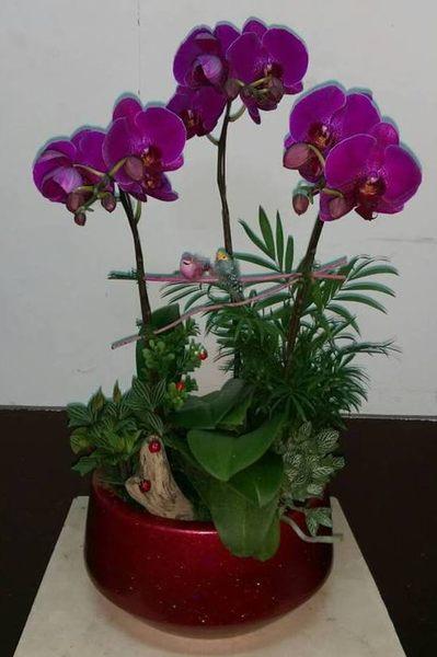 蘭花盆栽蘭花店精緻小品蝴蝶蘭組合盆景花麗雅
