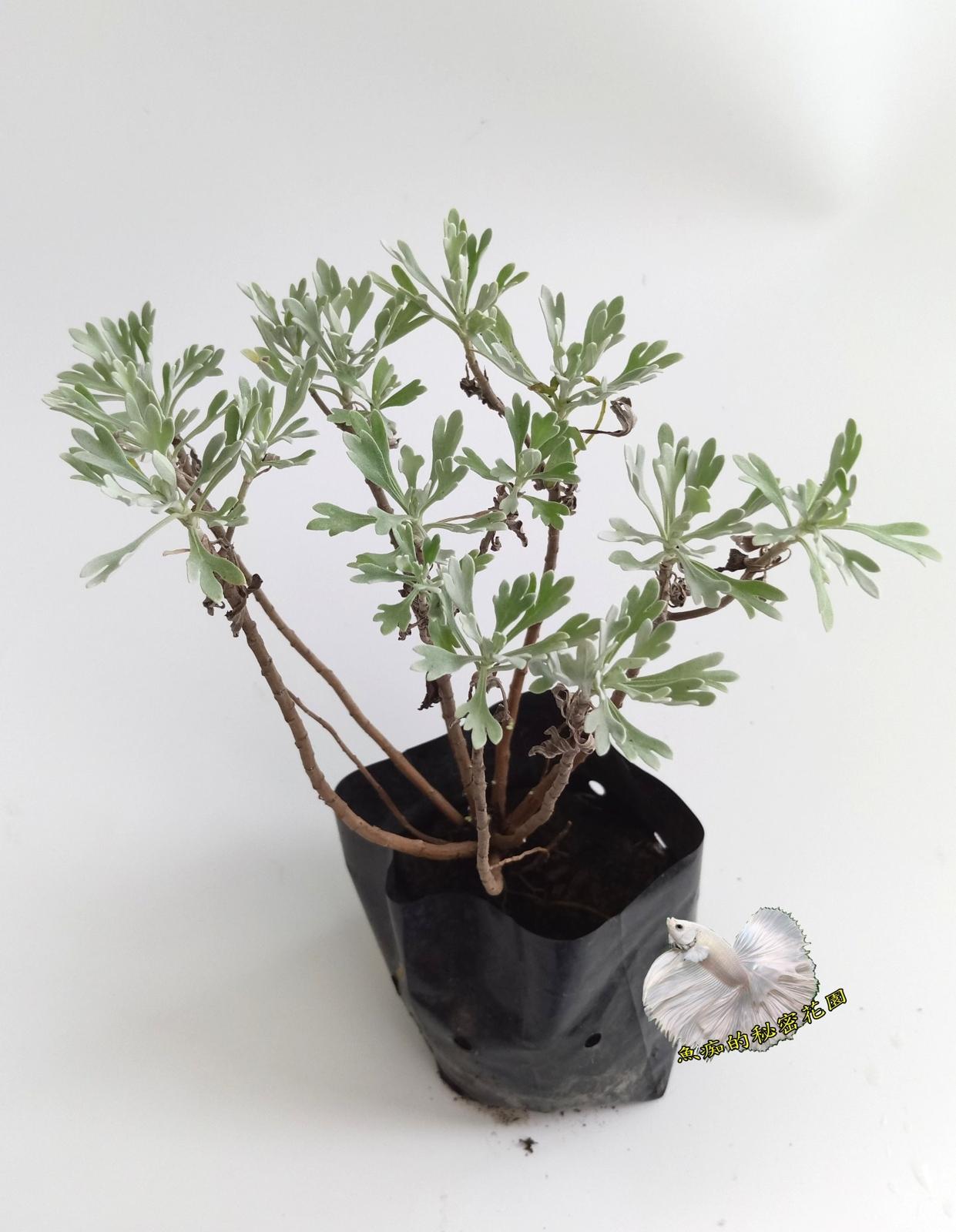 觀賞植物小芙蓉盆栽3吋盆活體盆栽可泡澡收驚喪事