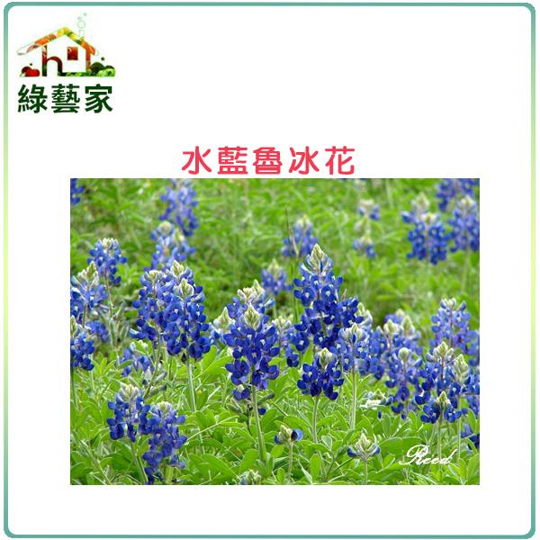 【綠藝家】H05.魯冰花(水藍色)種子30顆