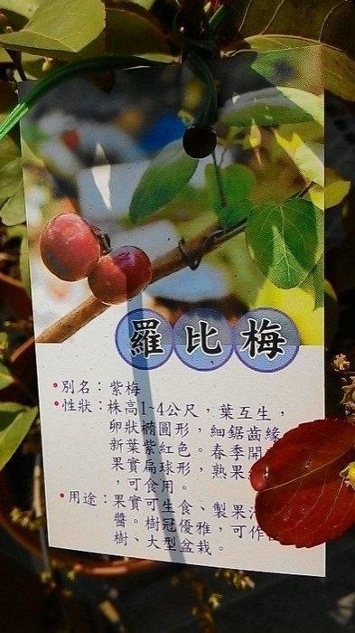 羅比梅紫梅6吋盆高30-40cm OvO