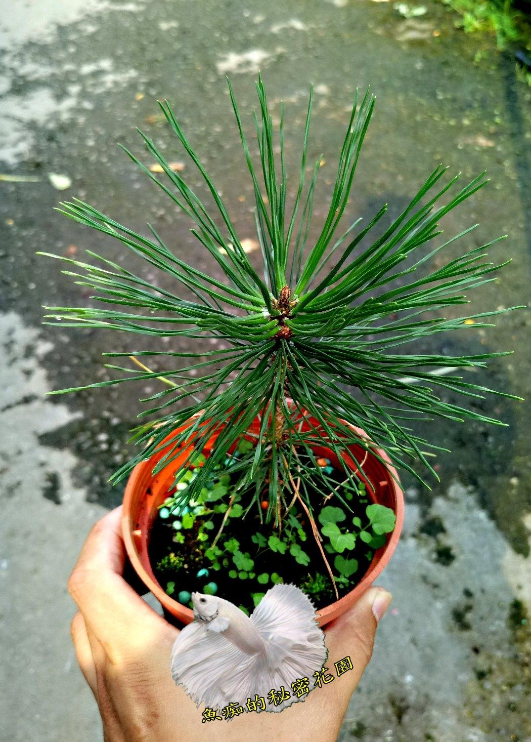 活體黑松小松樹盆栽室外植物3吋盆栽送禮小品盆栽