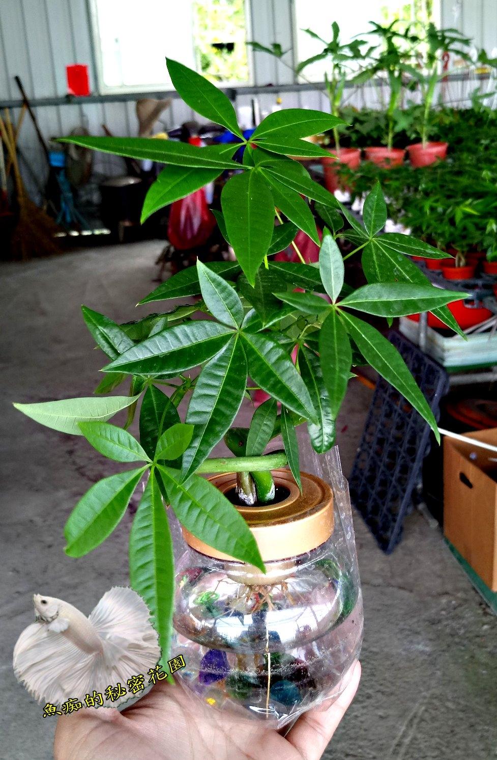 水耕植物盆栽彎曲造型馬拉巴栗美國花生發財樹室內室外皆可