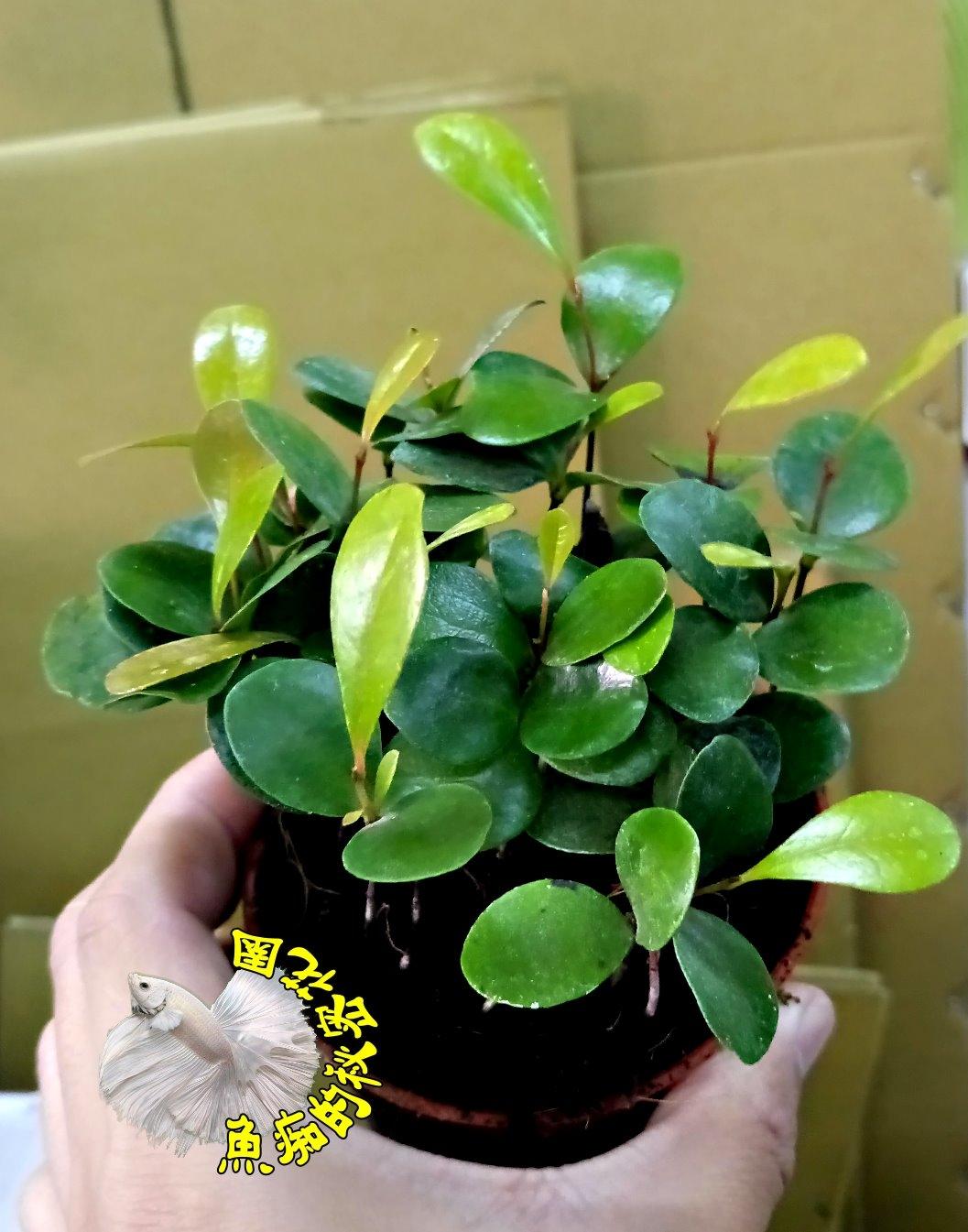 咖啡樹咖啡苗室內植物3吋活體盆栽送禮小品盆栽半日照環境佳