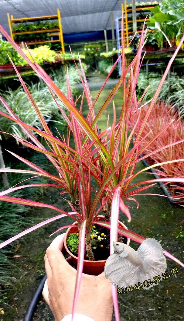 五彩千年木金絲竹紅鑲邊龍血樹彩紋竹室外植物3吋活體盆栽送禮小品盆栽