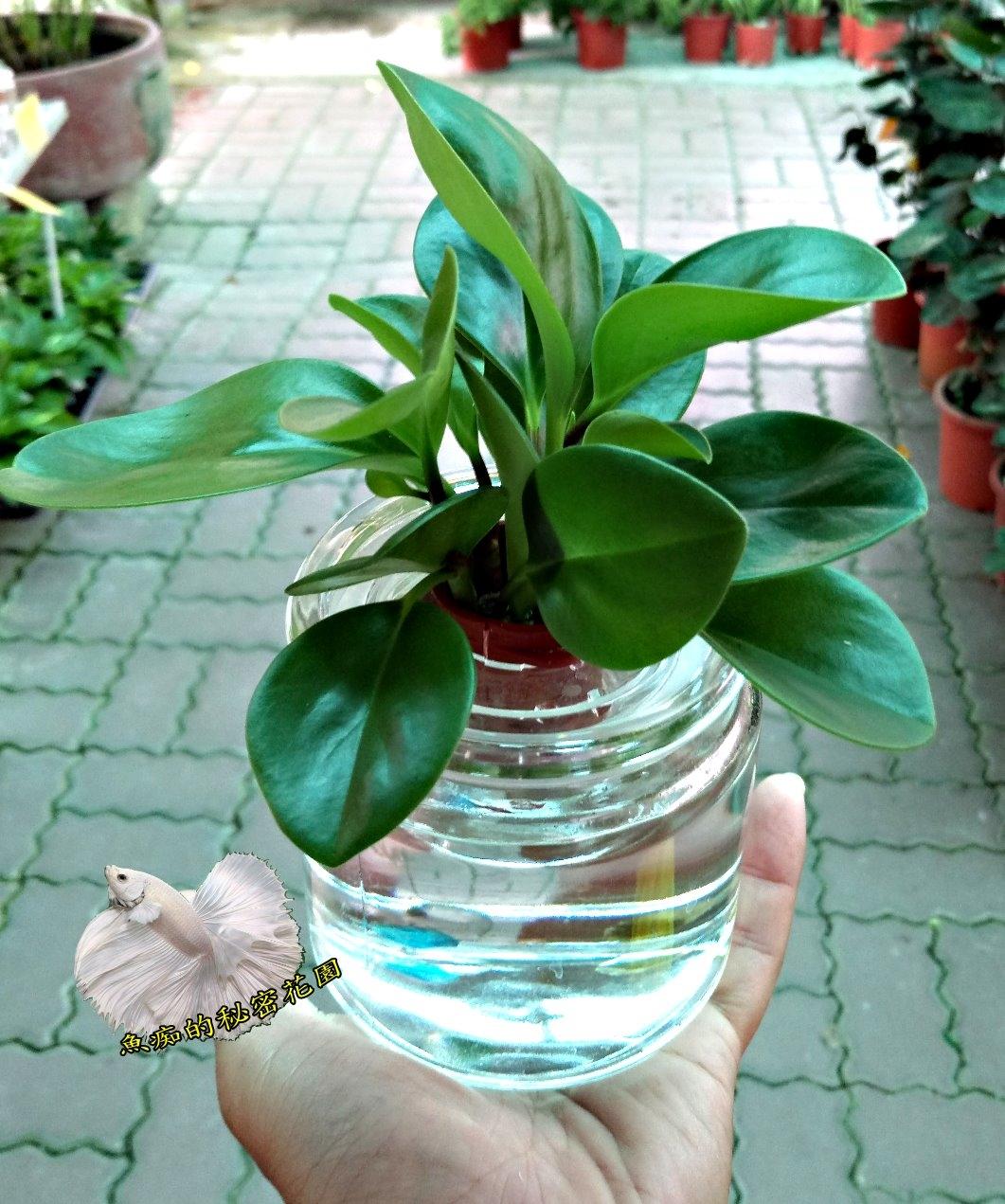 圓葉椒草水耕盆栽玻璃瓶水耕植物盆栽室內佳
