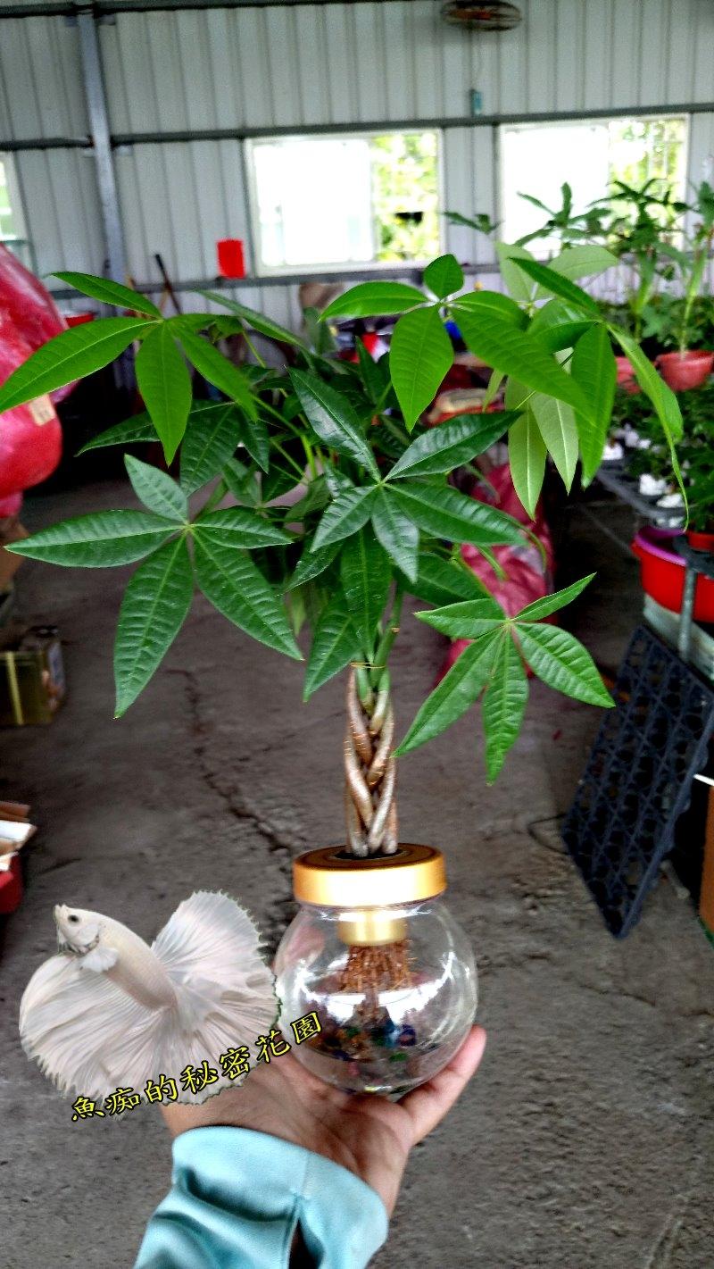 水耕植物盆栽編織造型馬拉巴栗美國花生發財樹室內室外皆可