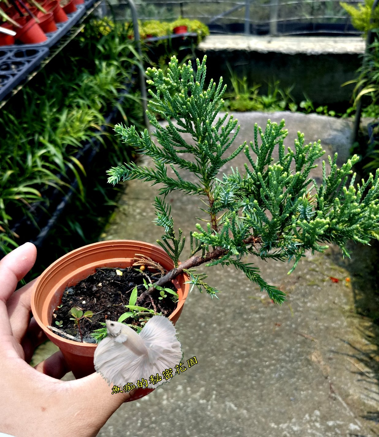 活體倒柏小柏樹室外植物3吋盆栽送禮小品盆栽