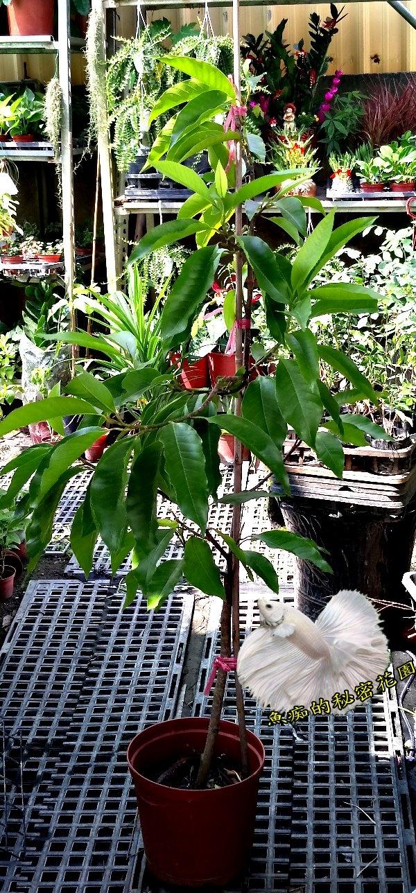活體約140cm玉蘭花樹室外開花植物8吋盆栽送禮盆栽