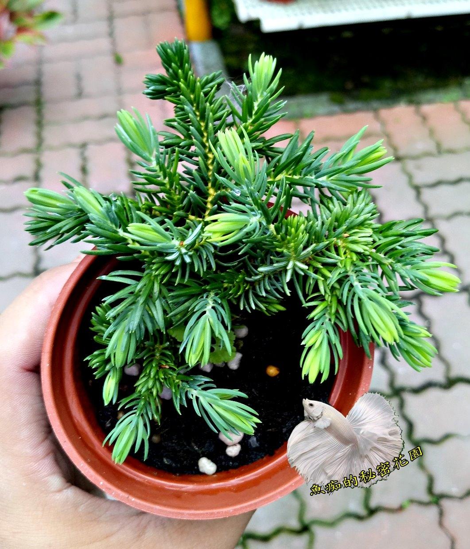 活體杜松小松樹小柏樹室外植物3吋盆栽送禮小品盆栽