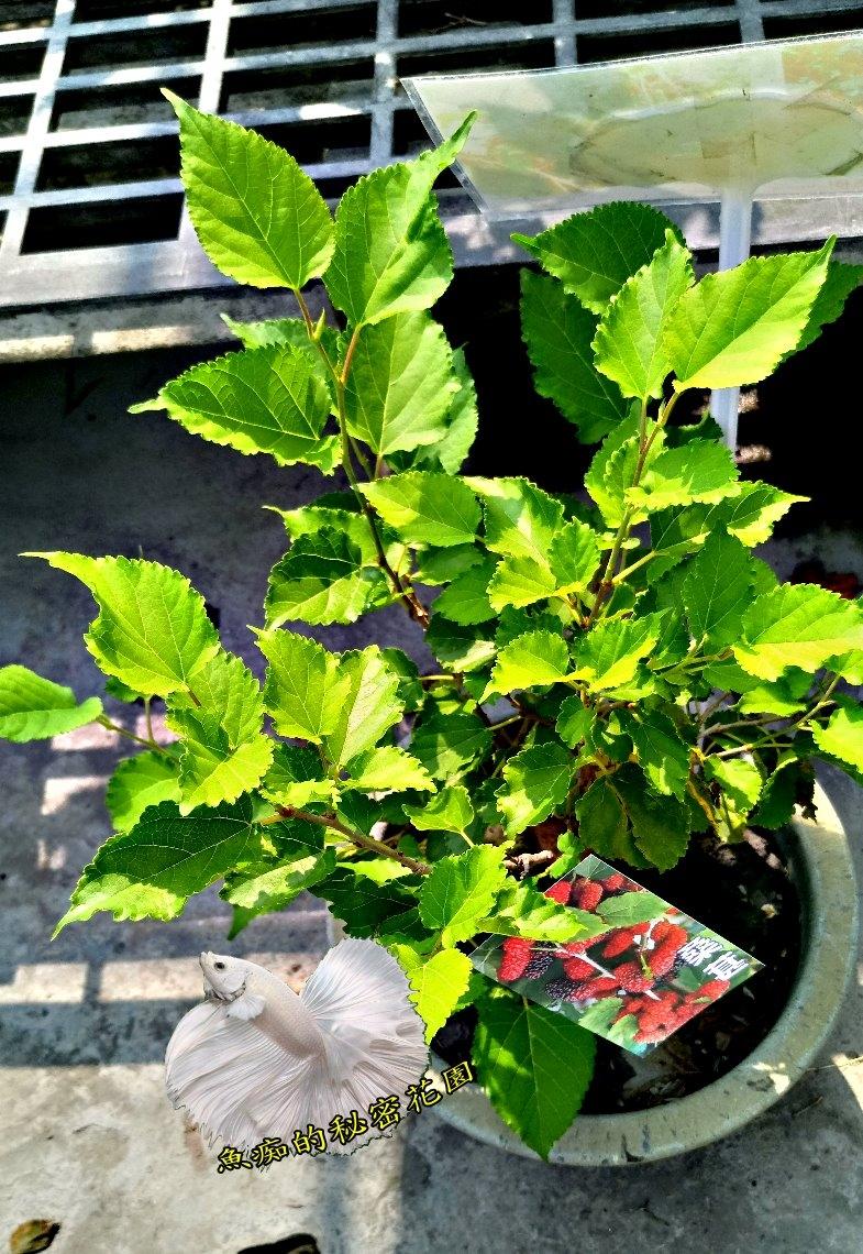 活體桑葚樹桑樹室外植物8吋果樹盆栽送禮盆栽