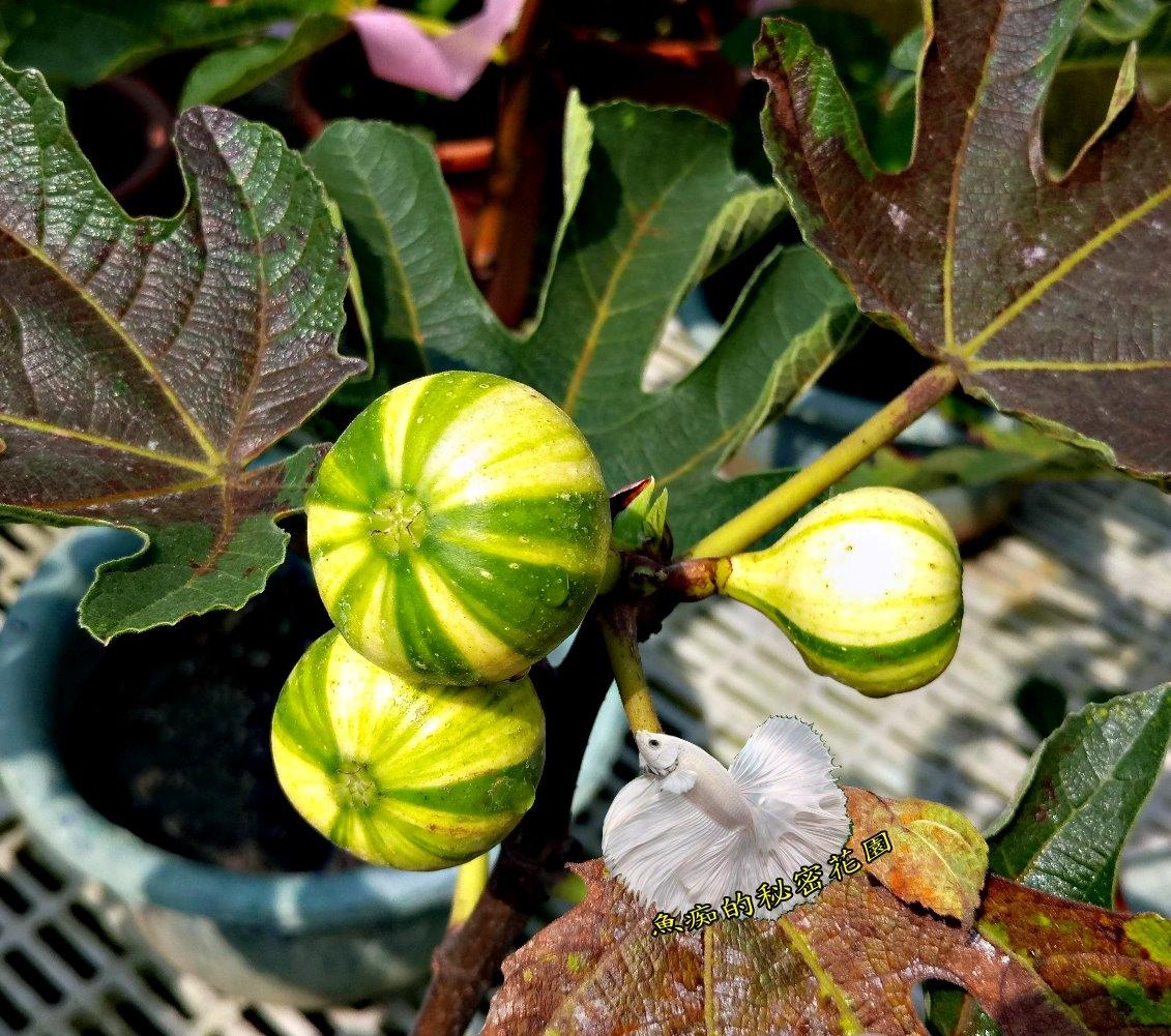活體西瓜紋無花果室外植物食用果樹8吋盆栽送禮盆栽