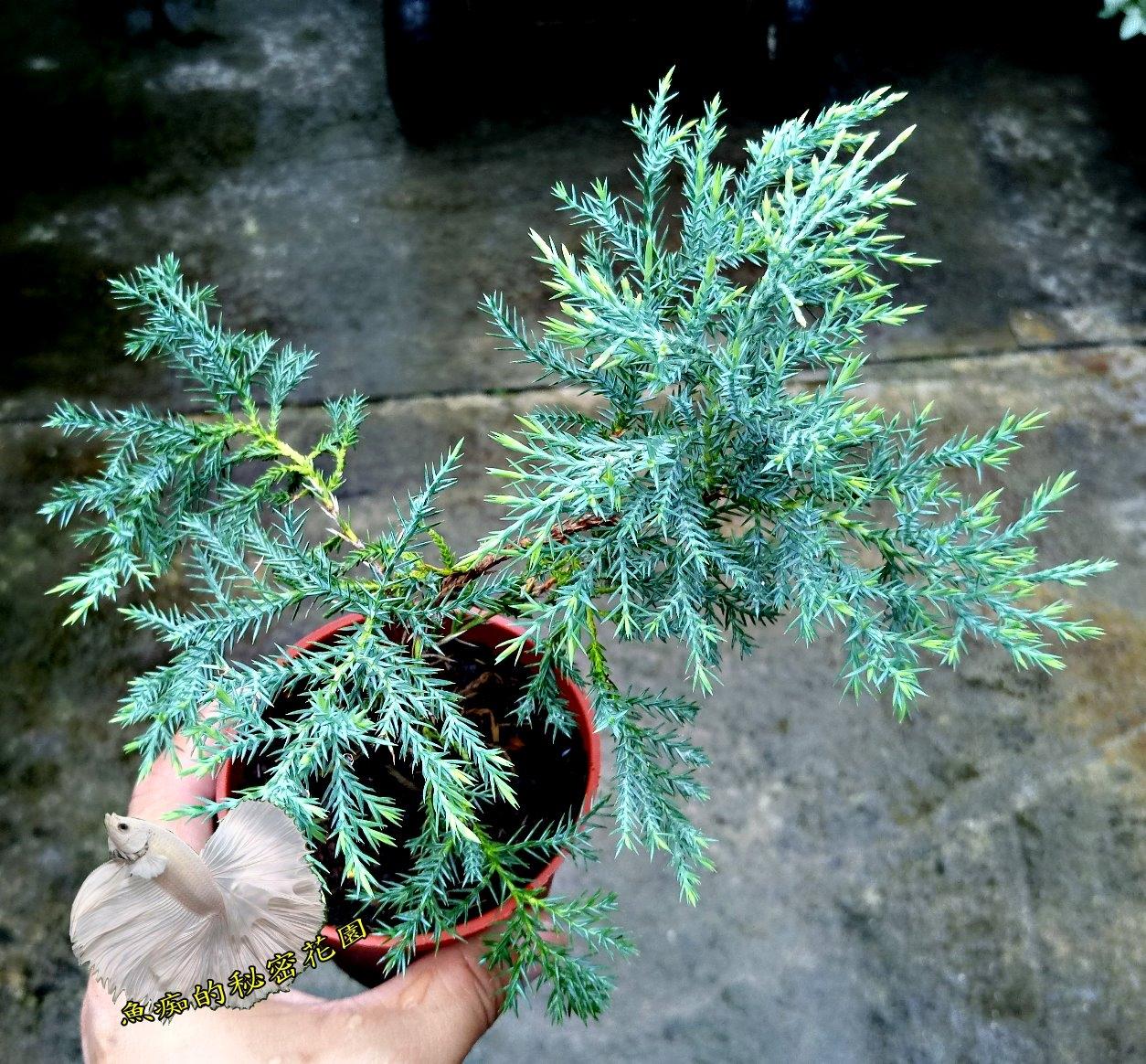 活體銀真柏小松樹小柏樹室外植物3吋盆栽送禮小品盆栽