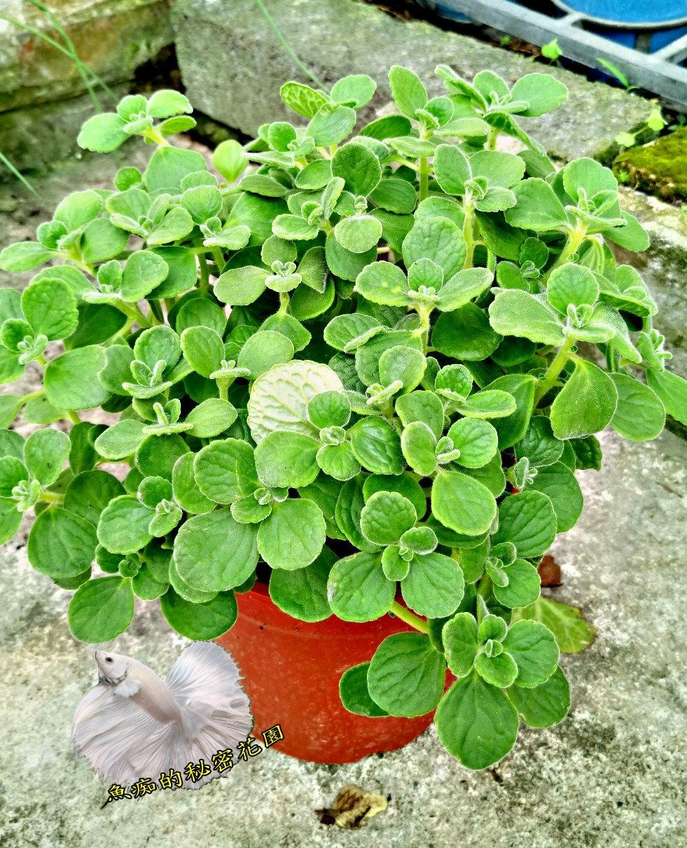 大葉左手香倒手香一抹香盆栽5-6吋盆香草植物藥用植物活體盆栽可食用可泡茶