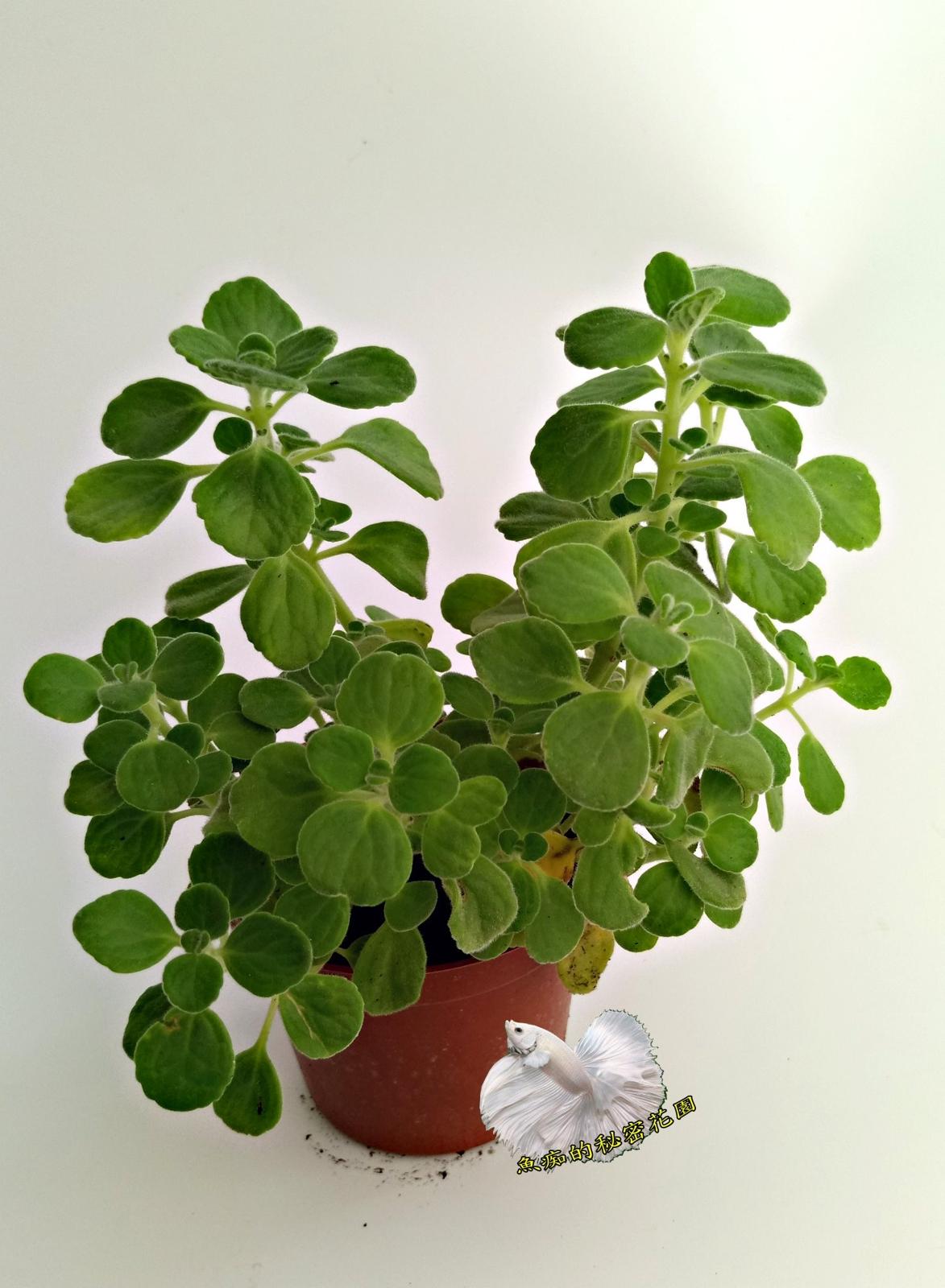 香草植物左手香一抹香倒手香盆栽3吋盆活體盆栽可食用可泡茶可做手工香皂